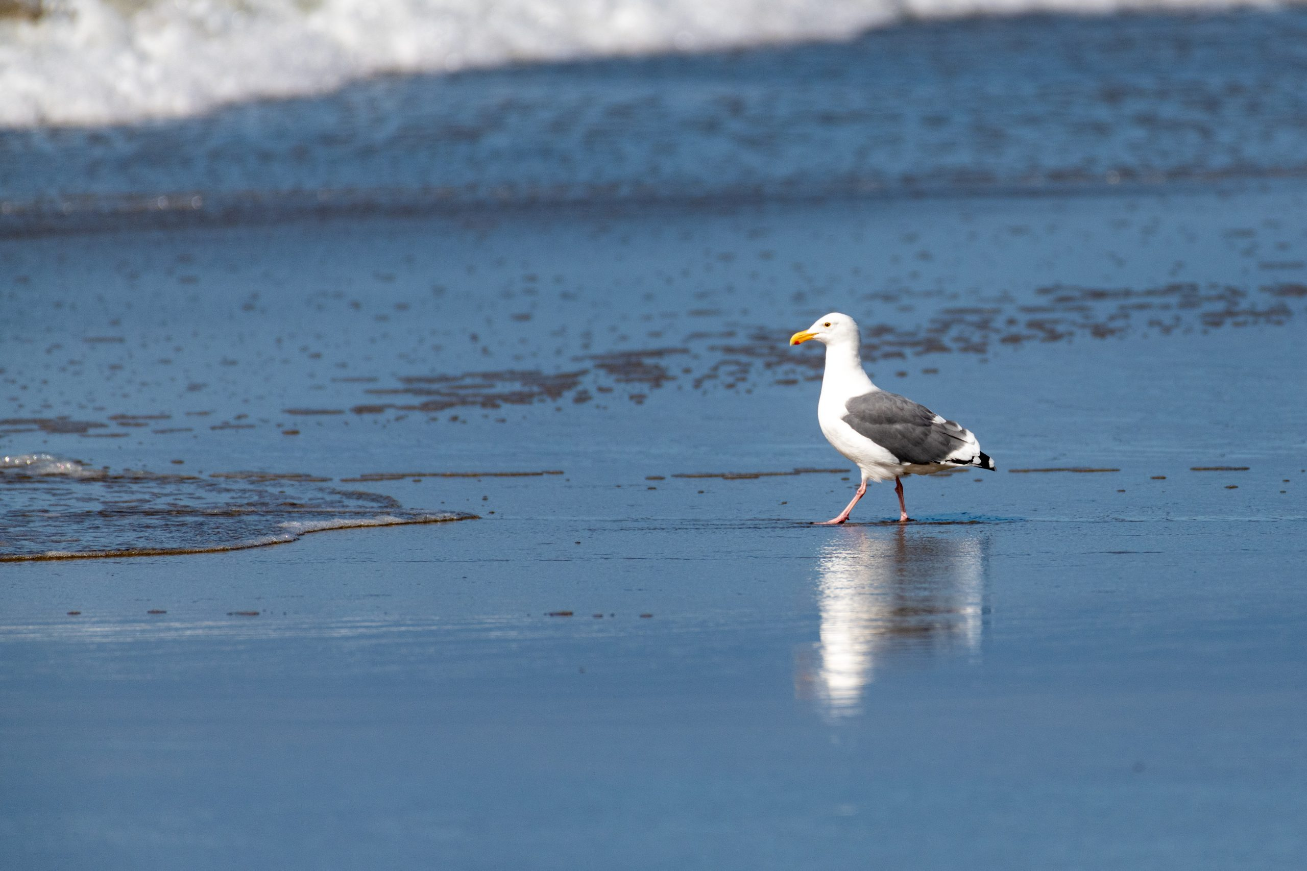 Florence, Oregon - Seagull on Beach